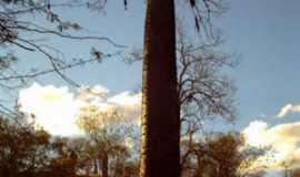 Wanderley - a grande barriguda... ...coisa da natureza., Por Leoklides Cafe